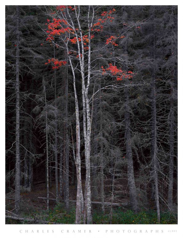 Bare Trees, Red Leaves, Acadia, Maine
