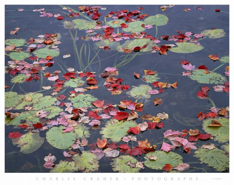 Maple Leaves and Lillypads, Long Pond, Maine