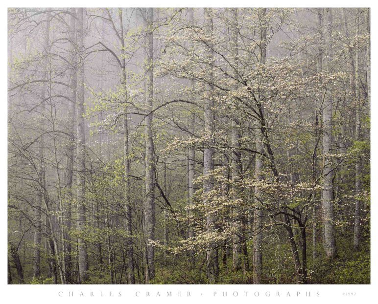 Dogwood,  Morning Fog,  Smoky Mountains