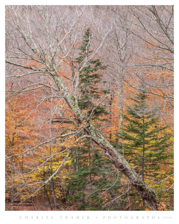 Diagonal Tree and Evergreens, Green Mountains, Vermont