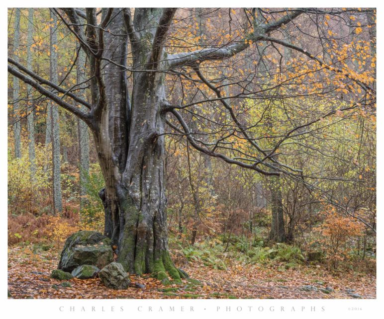 Common Beech, Lake District, England