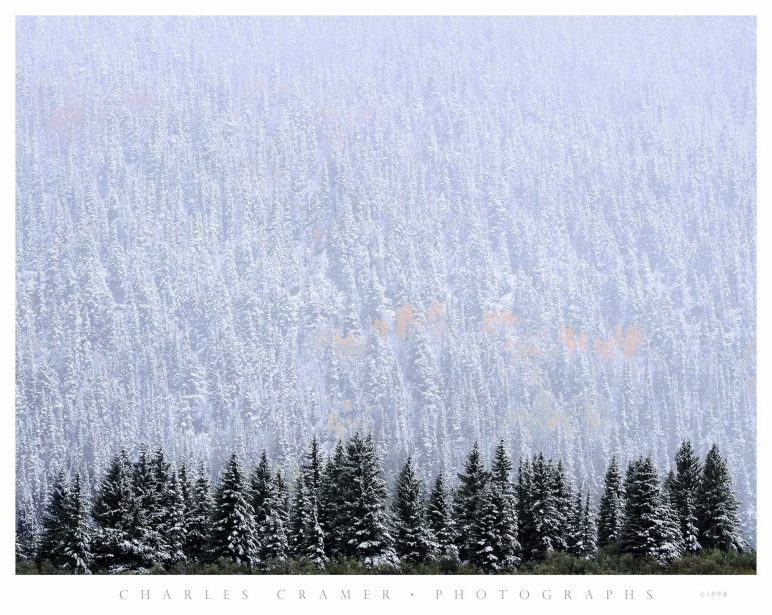 Evergreen and Aspen, Autumn Snow, near Telluride, CO