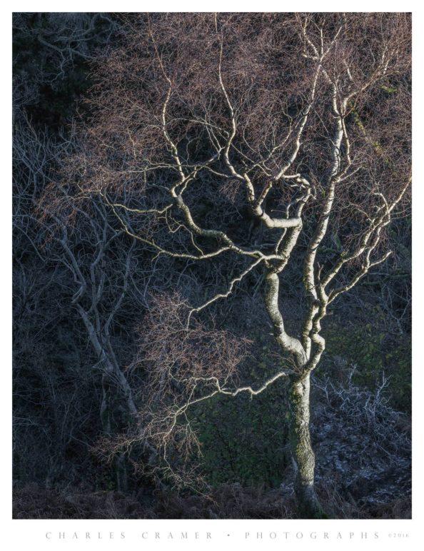 Spotlit Silver Birch, Lakes District, England