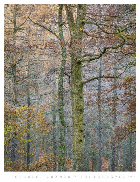 Two Trees, Autumn, near Derwentwater, England