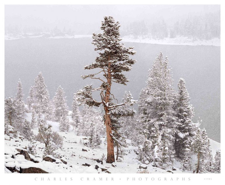 Tree,  Snowstorm,  Tioga Lake