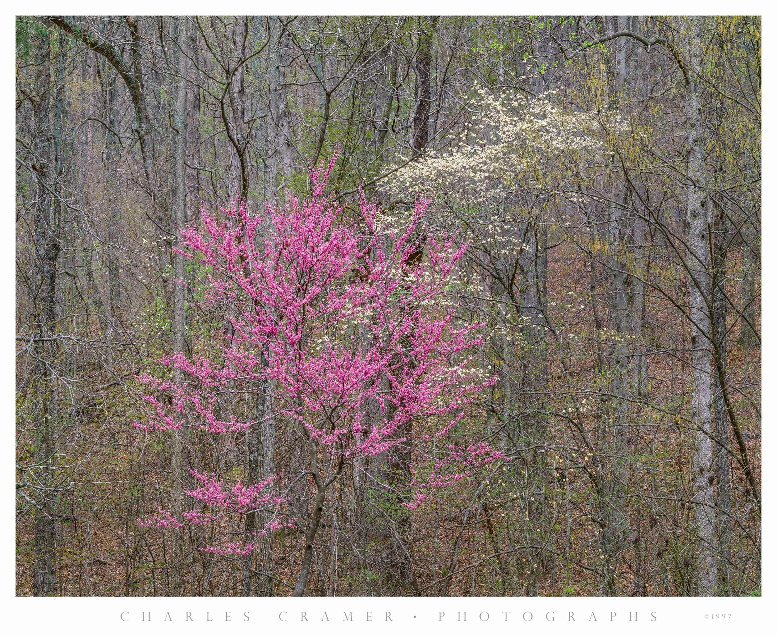 Dogwood and Redbud, Spring, Bernheim Forest, Kentucky