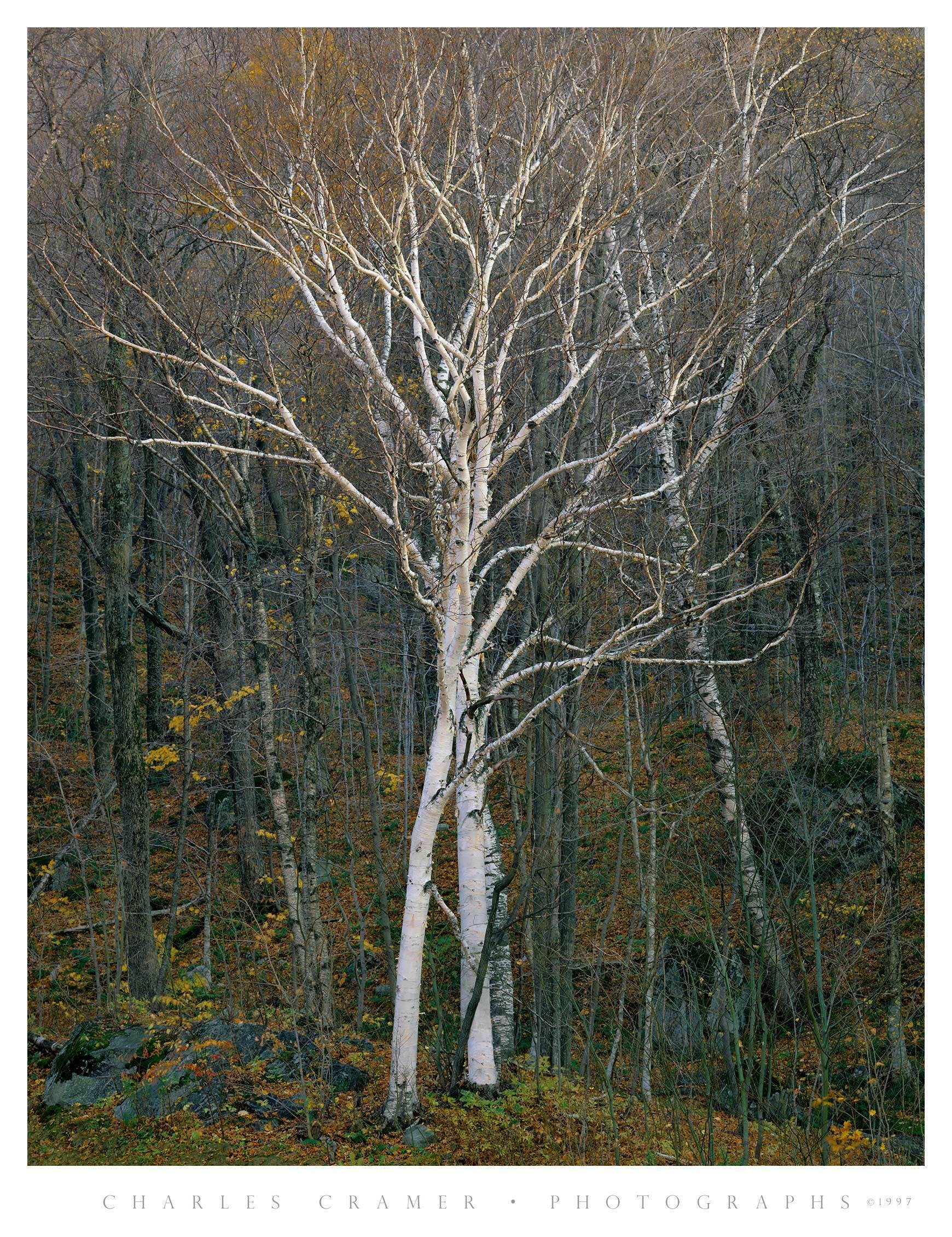 Intertwined White Birches, Late Fall, Vermont