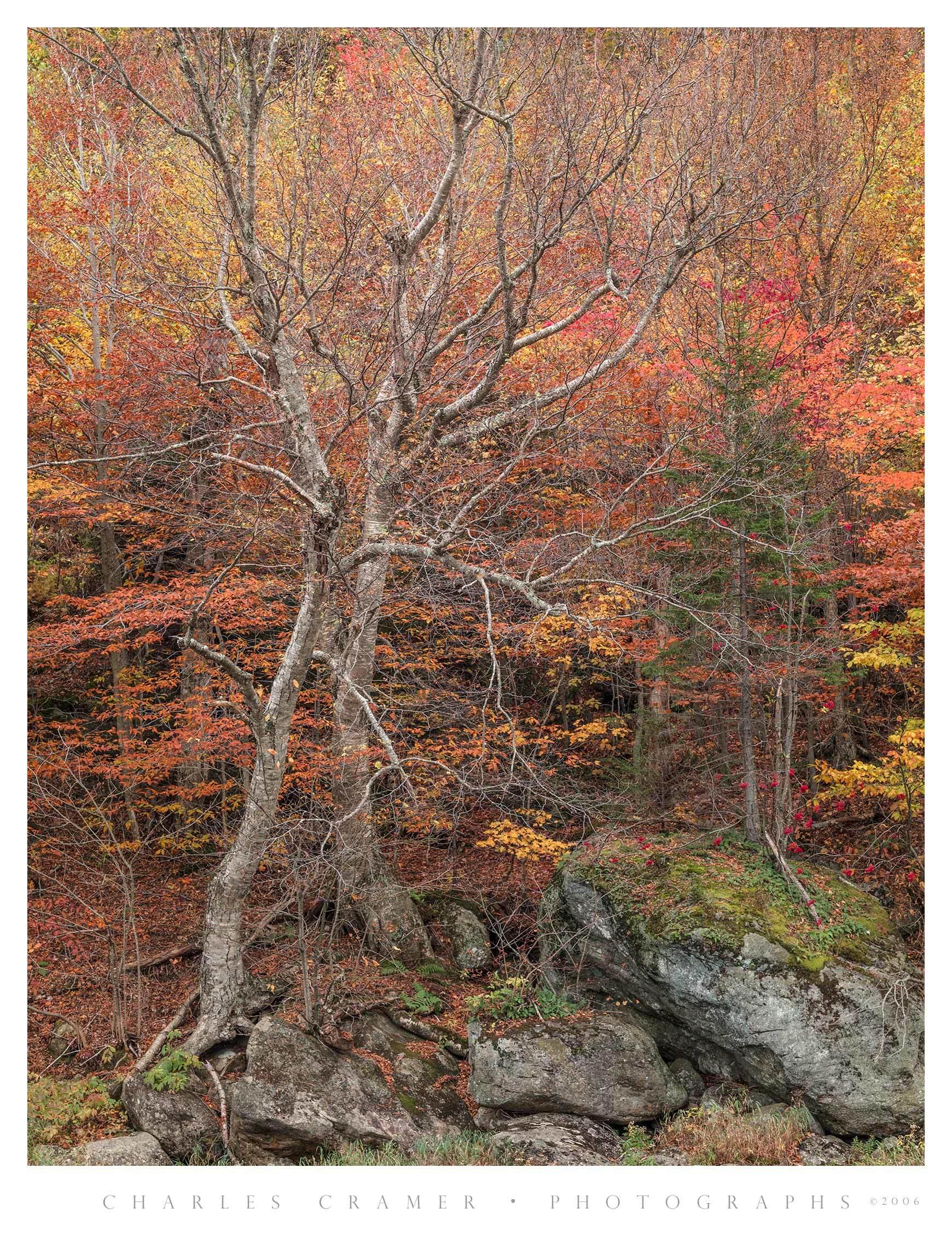 Fall Color, Trees, River Shore, New England