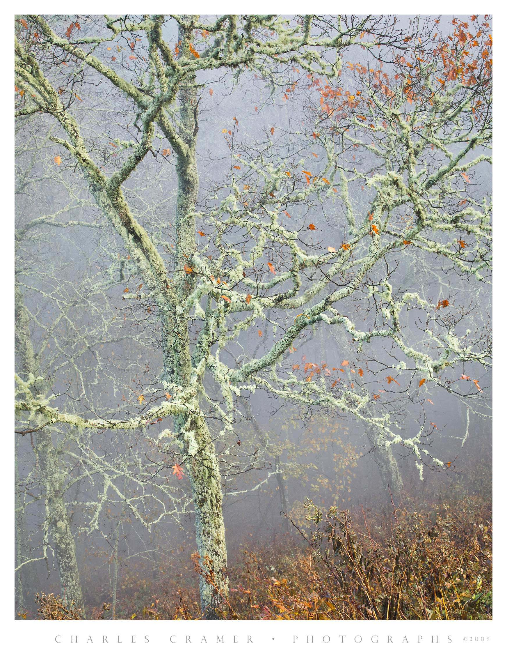 Mossy Tree, Fog, Blue Ridge Parkway