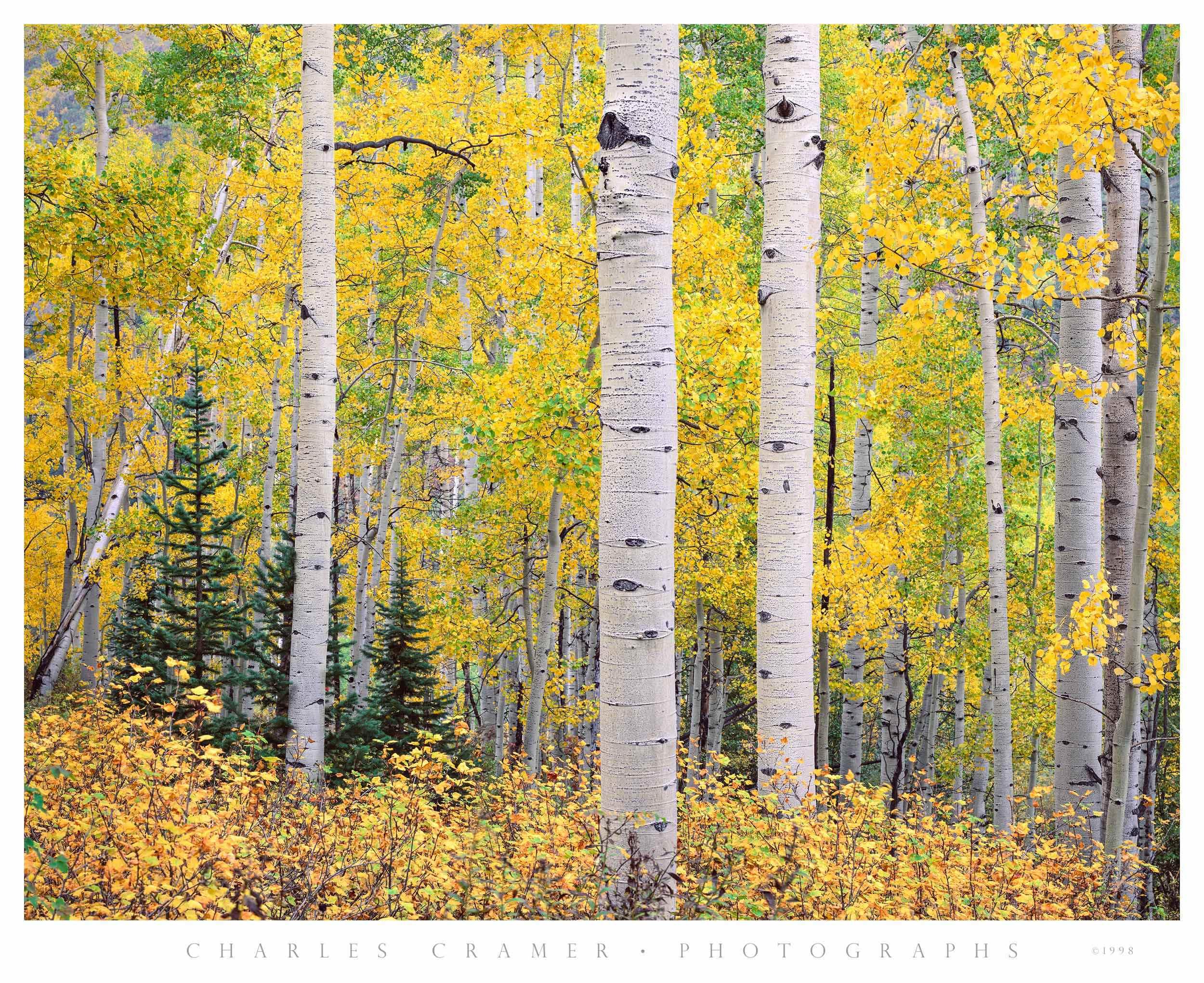 Aspen and Evergreen, Autumn, Snowmass, Colorado