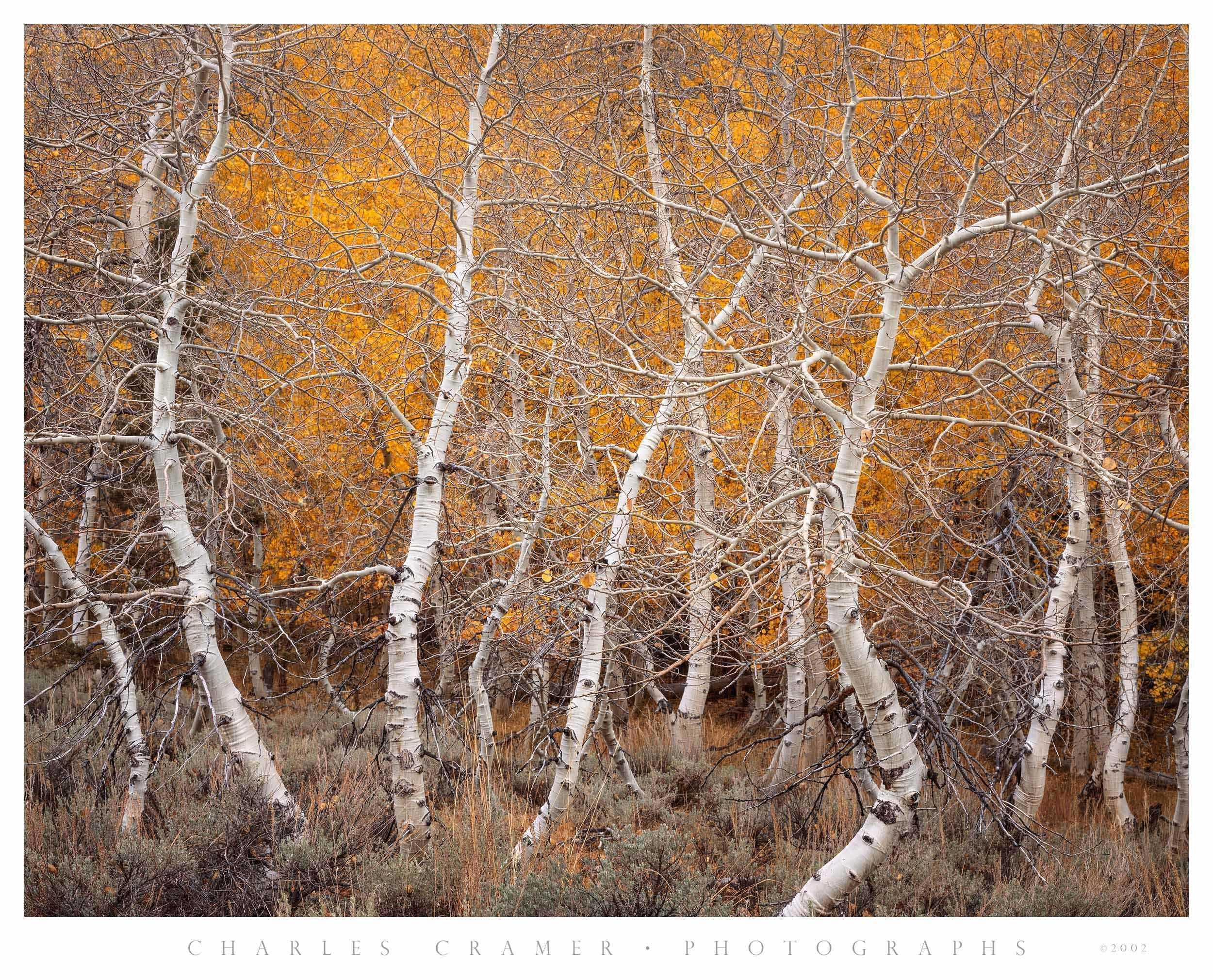 Aspen Dance, Autumn, June Lake