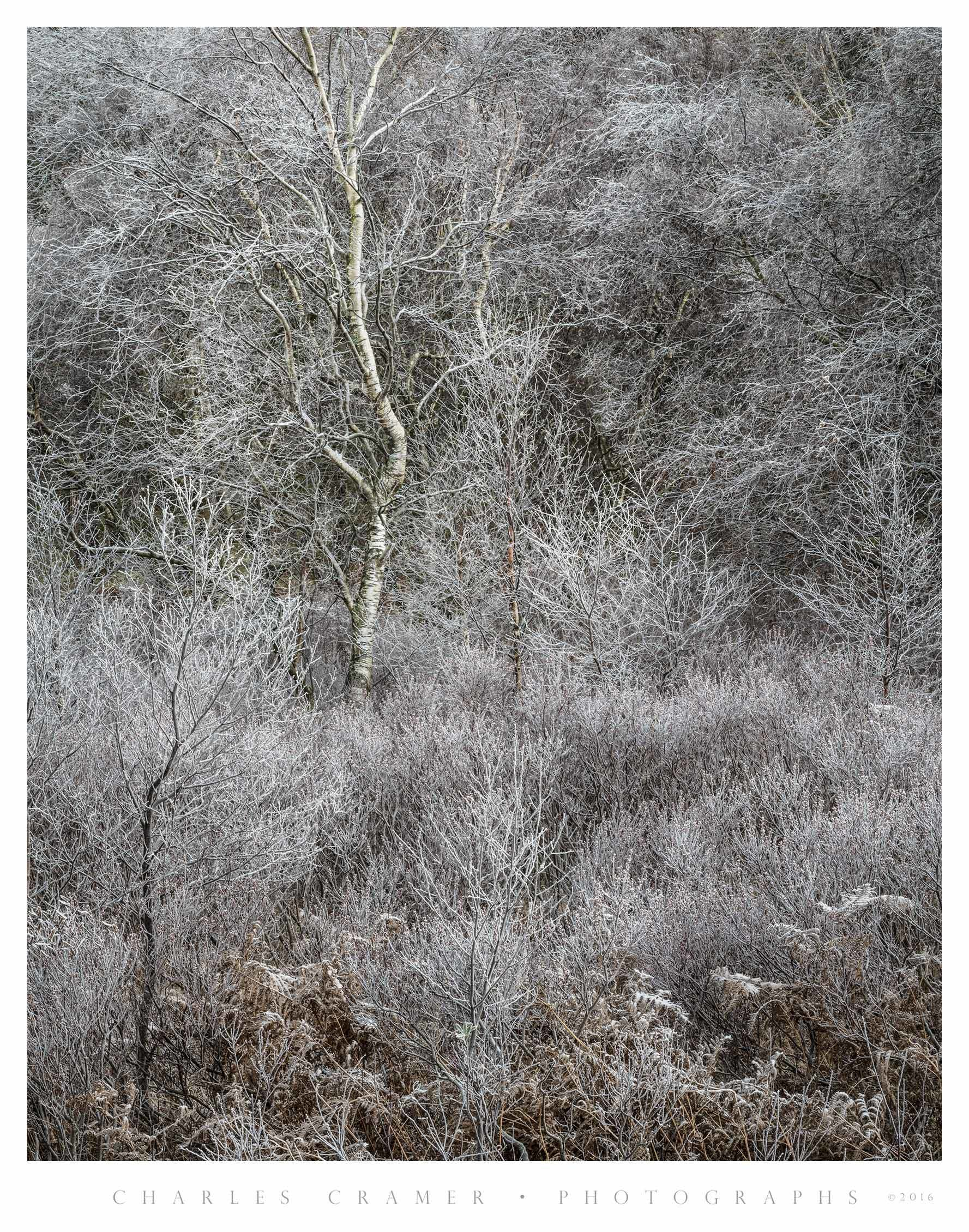 Frost, Silver Birch, Lakes District, England