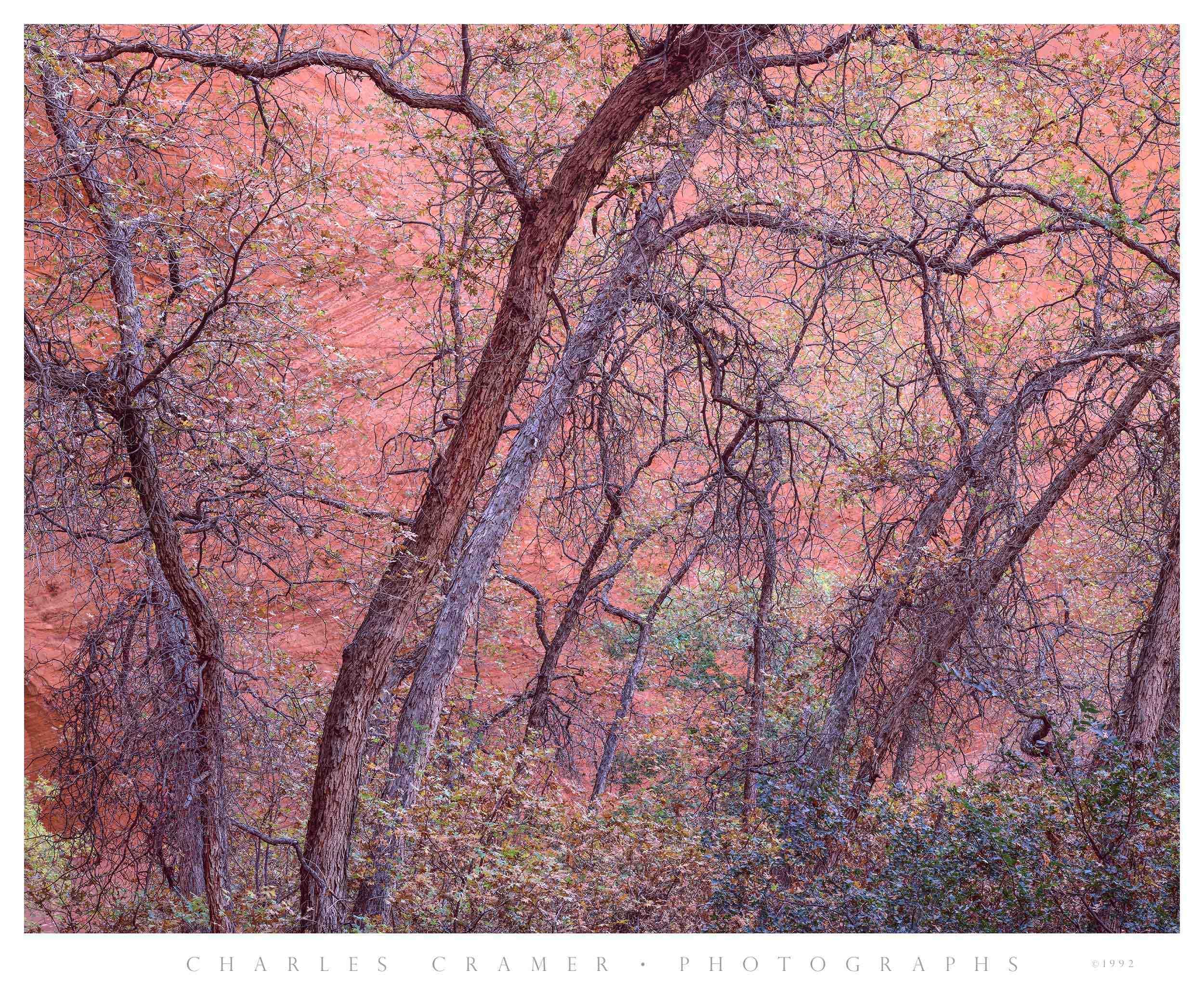 Gambel Oak, Harris Wash, Utah
