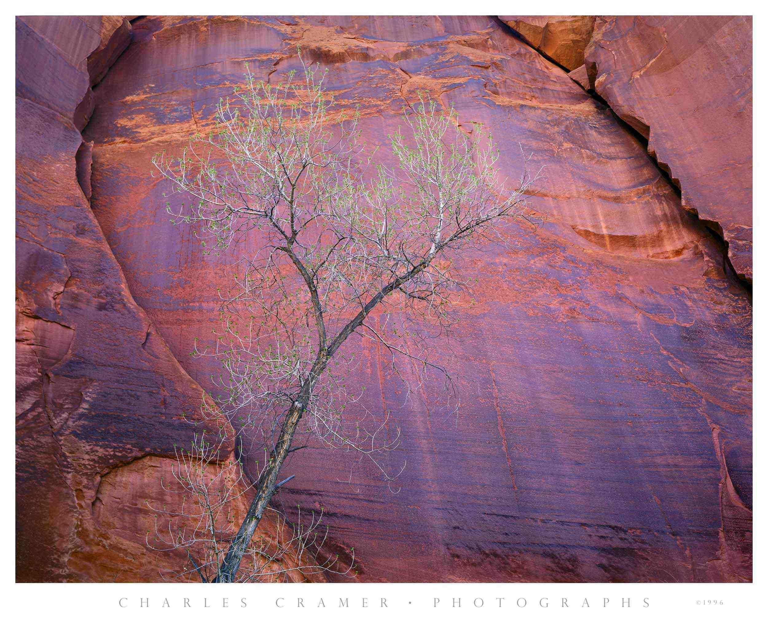 Cottonwood, Canyon Wall, Escalante Canyon, Utah