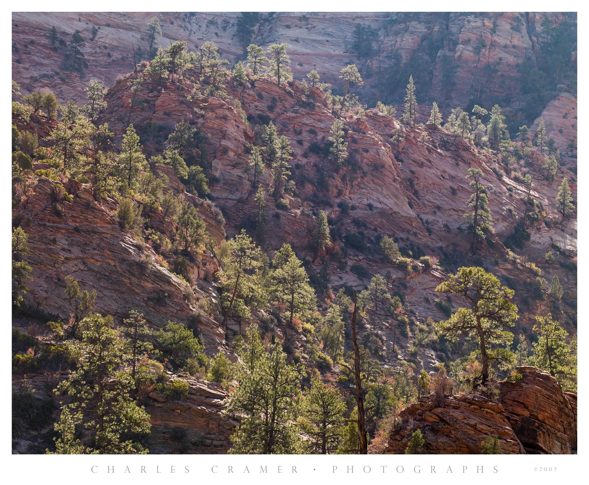 Backlit Pines, Sandstone Formations, Zion