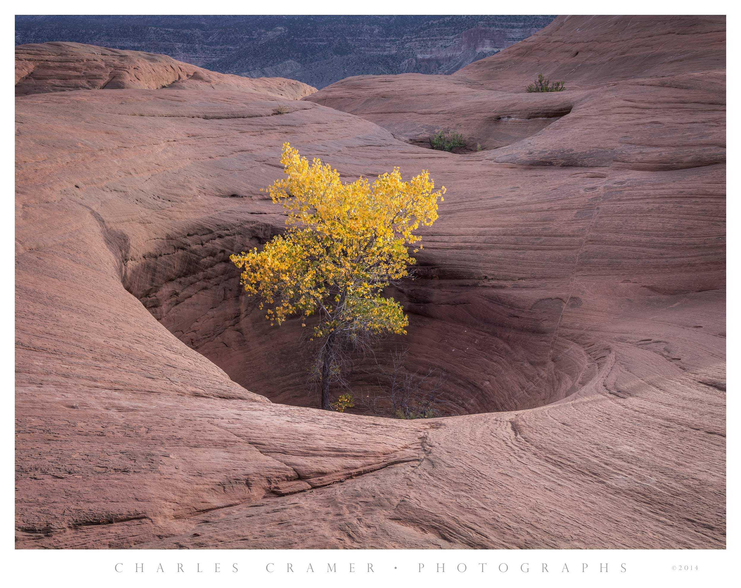 Cottonwood Tree in Sandstone Crevice, Utah