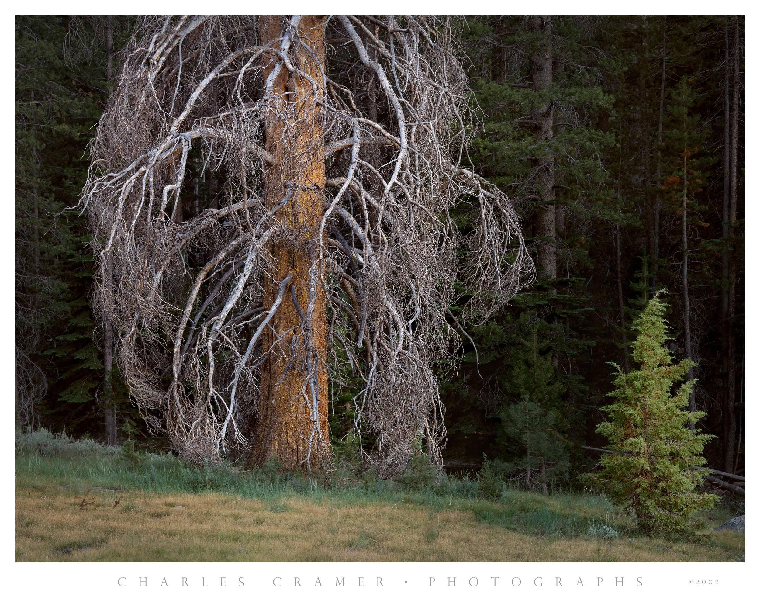 Two Trees, near Washburn  Lake, Yosemite