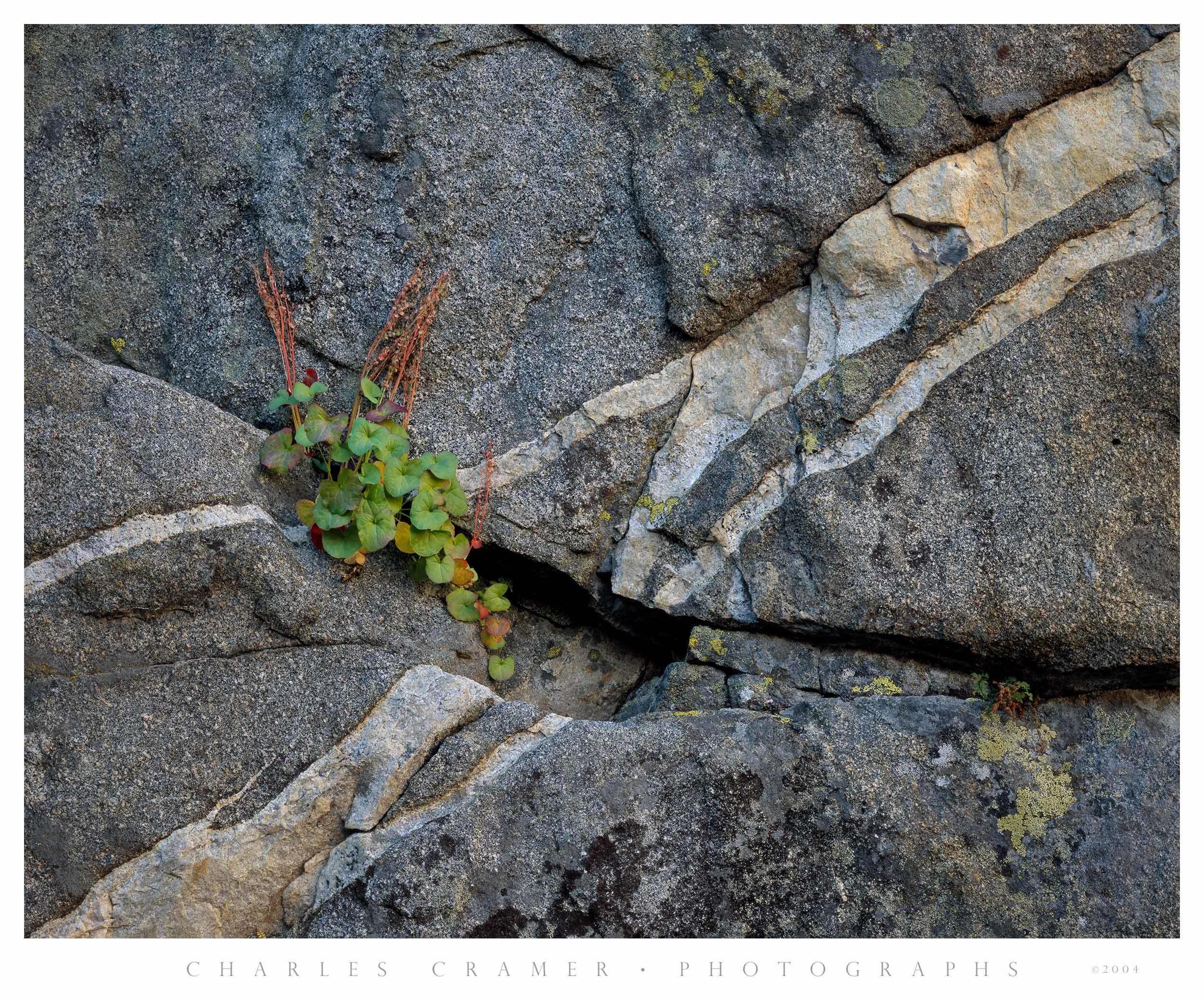Mountain Sorrel and Granite Wall, Ten Lakes Basin, Yosemite