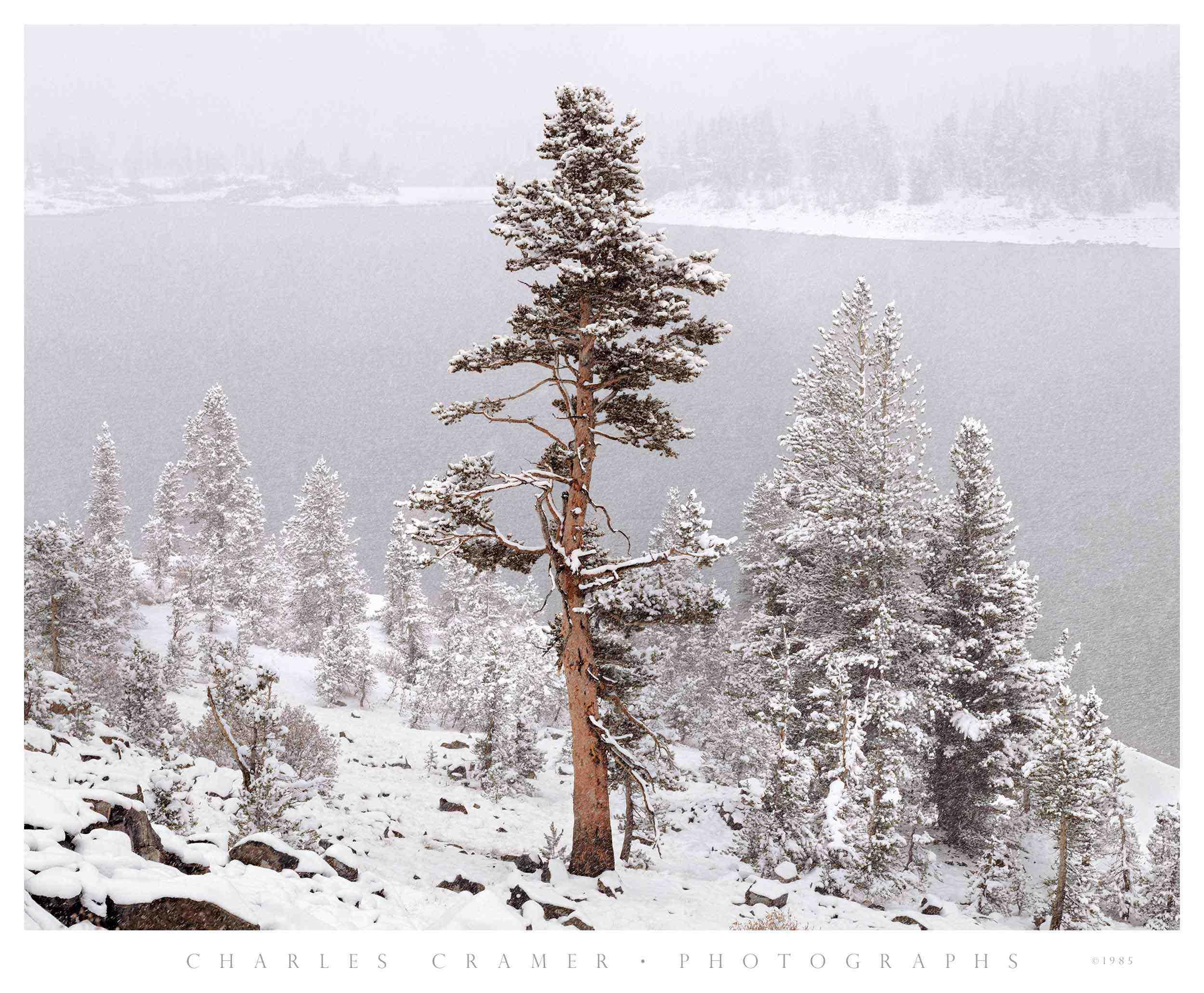 Tree,  Snowstorm,  Tioga Lake